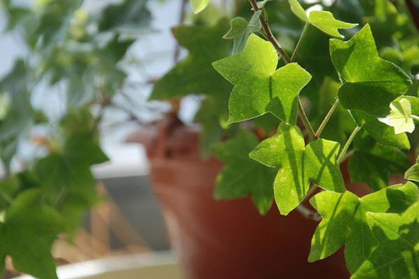 不同品种常春藤的生长习性