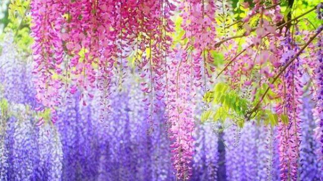 紫藤的花期