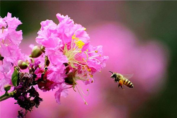 紫薇花怎么施肥