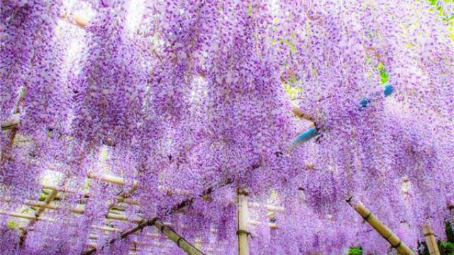 紫藤种子怎么种