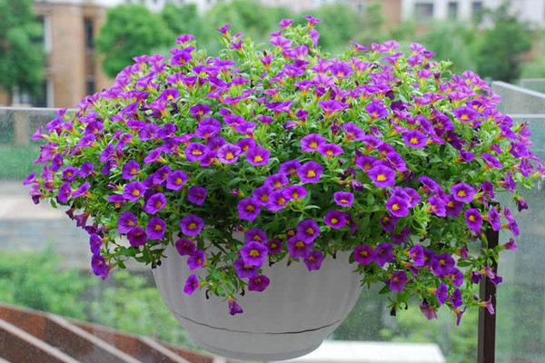 这6种易爆盆的花放在阳台,瞬间变花园