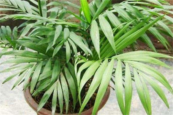 散尾葵有毒吗,可不可以室内养殖