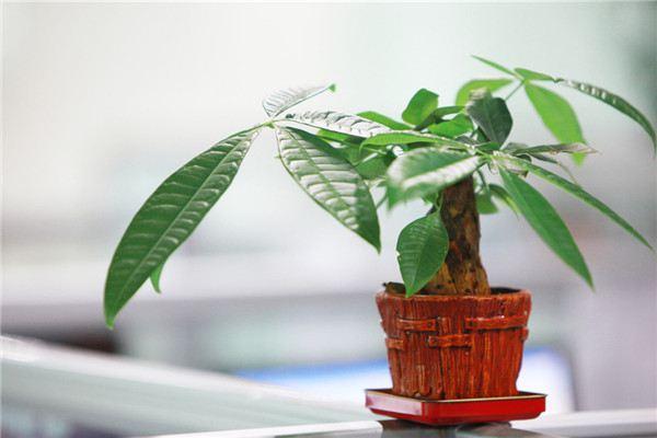 发财树的主要品种有哪些