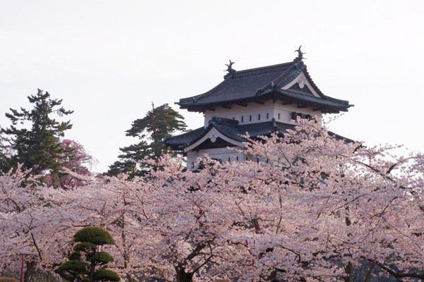 樱花掉叶子要怎么办