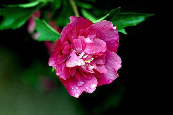 木芙蓉花有蕾不开花怎么回事