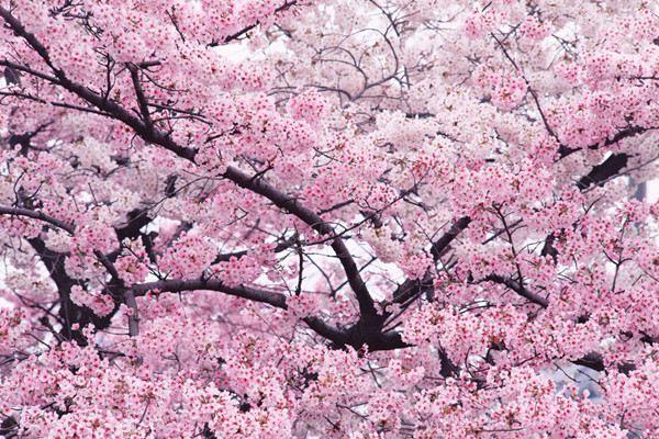樱花的文化的地位