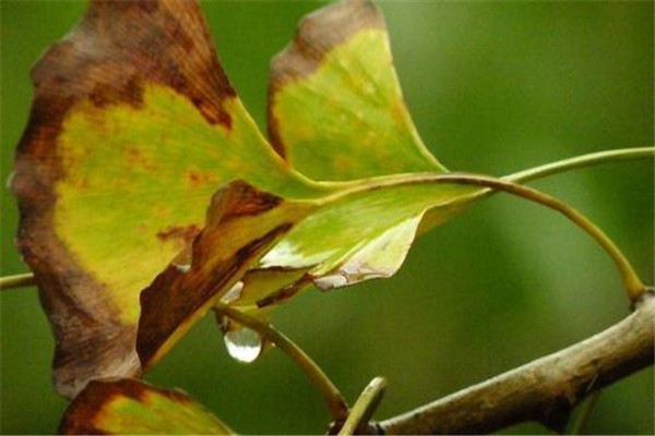 银杏的常见虫害及其防治