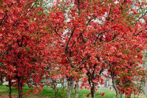 贴梗海棠繁殖_贴梗海棠盆景的制作和养护要点 - 花百科