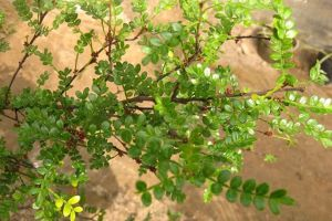 清香木盆景怎么养_清香木的养殖方法和注意事项 - 花百科
