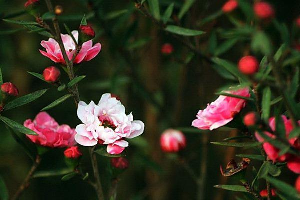 松红梅什么时候开花