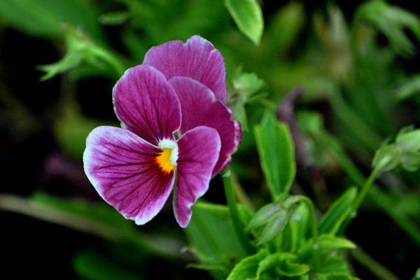 蝴蝶花什么时候开花