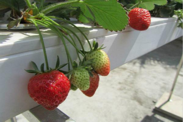 草莓可以水培吗