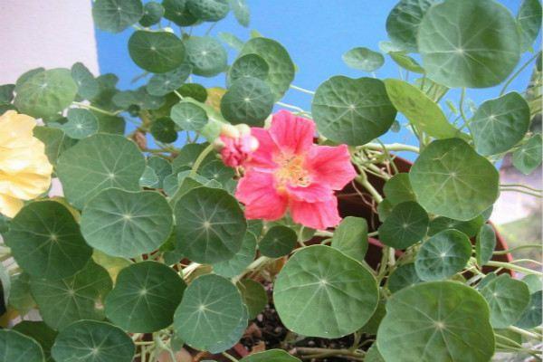 旱金莲的主要品种