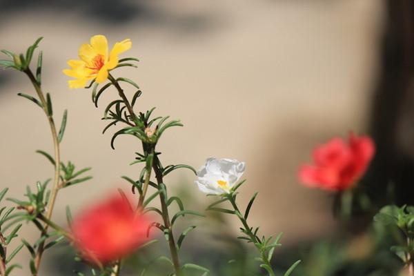 半枝莲什么时候播种和开花