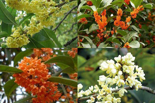 四季桂盆景的制作与养护技巧