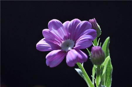 怎样让瓜叶菊全年开花