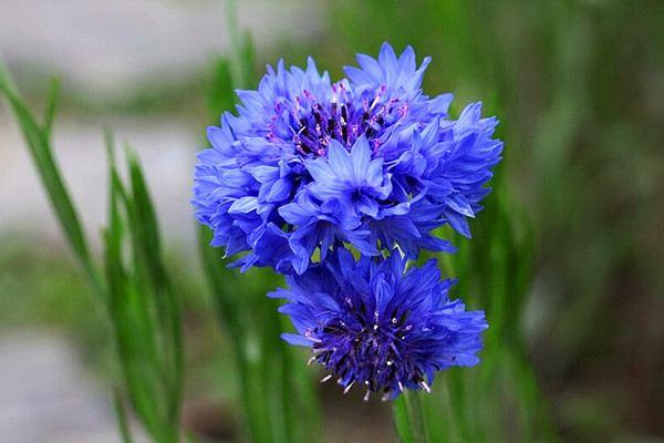 矢车菊什么时候开花