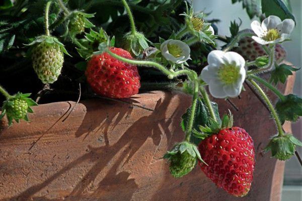 阳台草莓种子怎么播种