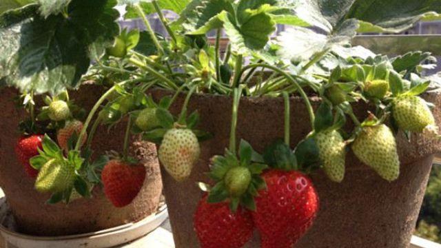 草莓盆栽夏季怎么养护