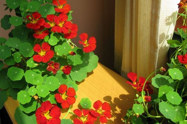 旱金莲什么时候开花