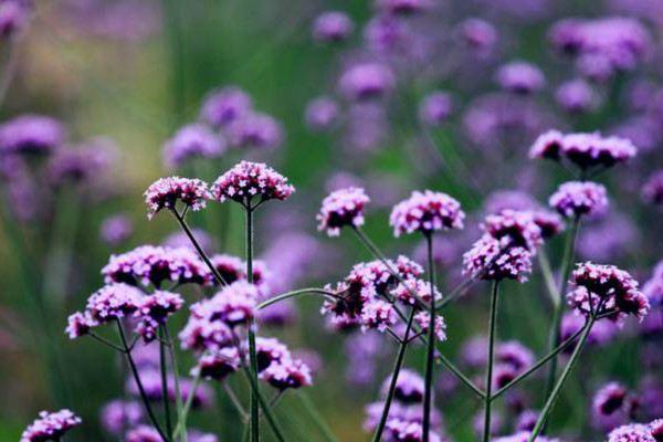 马鞭草和鼠尾草怎么区别