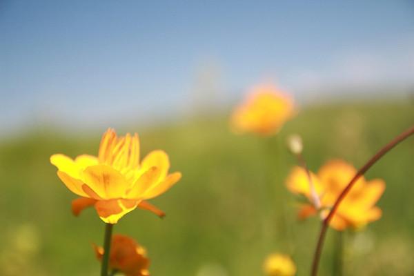 金莲花怎么浇水施肥