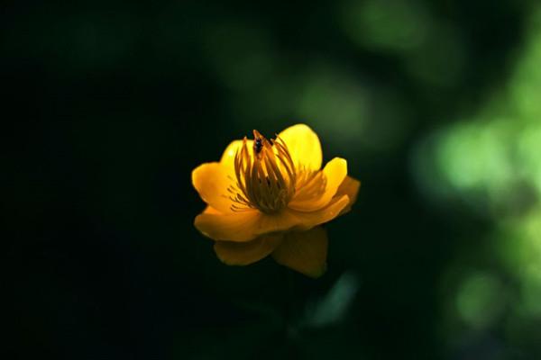 如何能让金莲花能够常年开花