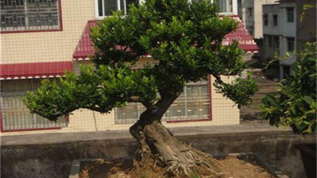 黄杨盆景造型有哪些