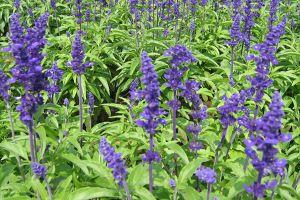 蓝花鼠尾草什么时候开花