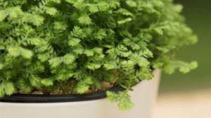 绿地珊瑚蕨的养护方法