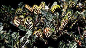 猫眼竹芋和孔雀竹芋的区别