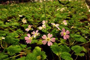 四季樱草的养植方法和注意事项