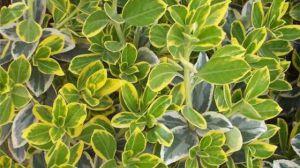 黄杨的品种有哪些