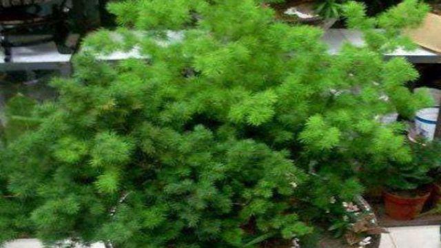 蓬莱松的盆景制作及养护