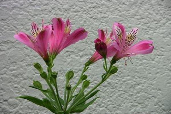 六出花的施肥方法