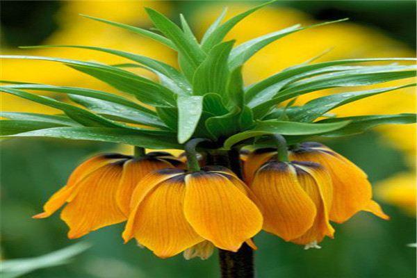 花贝母的养殖方法和注意事项