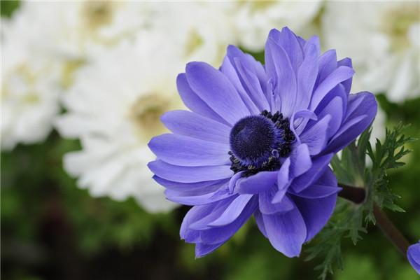 银莲花常见欧亿平台病虫害及其防治