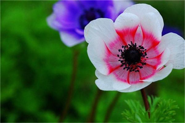 银莲花的繁殖方法