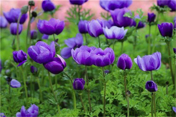 银莲花有哪些品种