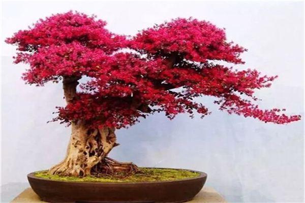 红花继木常见虫害及其防治