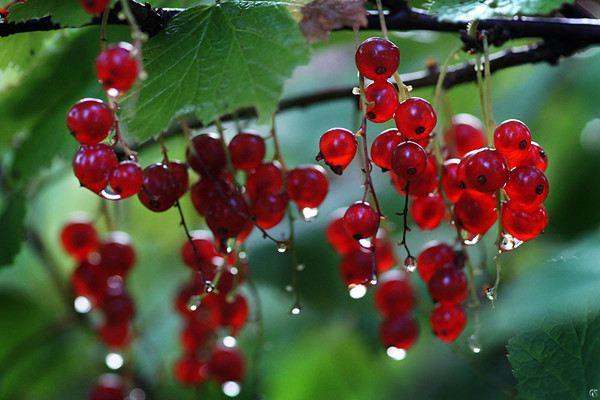 鹅莓的养护方法和病虫害防治