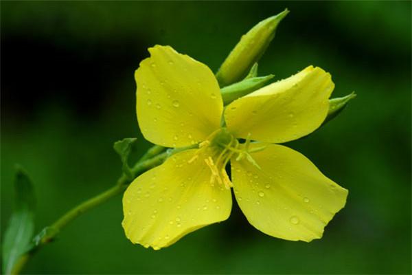 夜来香是哪些植物的别称