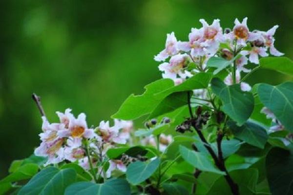 楸树常见虫灾及其防治
