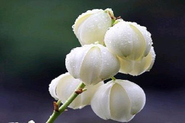 凤尾兰的繁殖方法