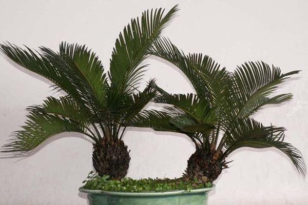 苏铁也叫铁树,是比较良好的一种室内观叶植物