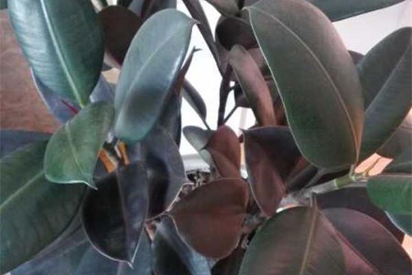 橡皮树怎么进行枝插