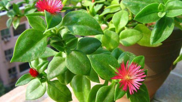 牡丹吊兰扦插繁殖方法