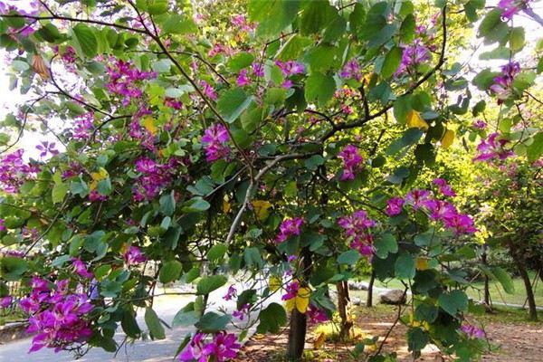 洋紫荆病虫害及防治办法