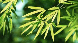 竹子种植资料简介