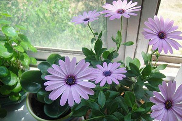 蓝目菊如何过冬